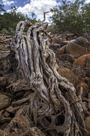 Outback Australia - River Bed with large Tree Root