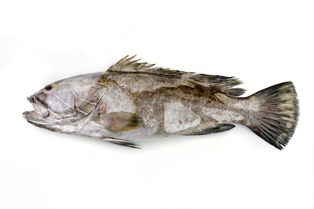 Fresh saltwater white grouper on white background with copy space