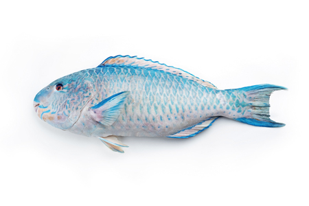 Fresh saltwater parrotfish as top view on white background with copy space � isolated Stock Photo