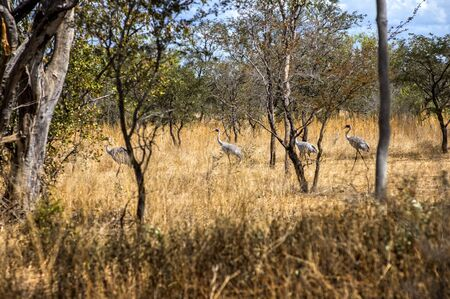 Australian Brolga group court at the bush in Western Australia