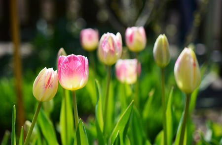 Pair of pink and white tulips closely together