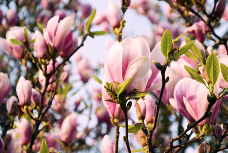 Close up view of blooming Magnolia in Spring in Germany