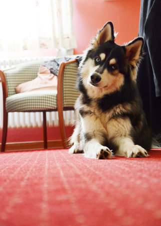 Husky in hotel with red carpet tilting his head