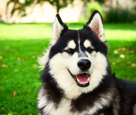 Siberian Husky smiling and panting in summer, eyes half closed