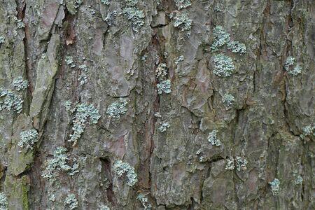 Bark texture. Spruce bark close-up
