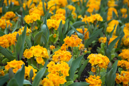 Beautiful yellow flowers blossoming in spring time, natural background