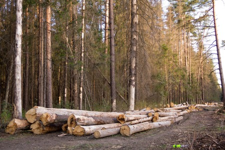 felled: Russia Deforestation: forest has been destroyed  human development, trees felled and stored for the industry. Wooden logs cut and stacked with forest background Stock Photo