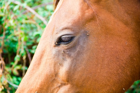 brilliancy: horse with lots of fly in face Stock Photo