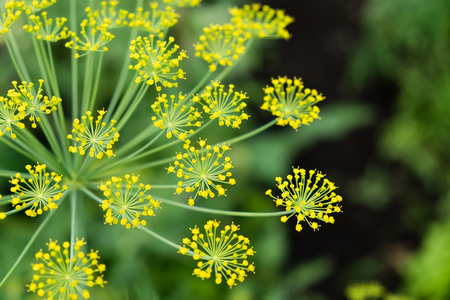 ascorbic acid: The fennel blossoming. Fennel inflorescence top view. Close up. Macro. Vegetable background horizontally. Anethum. Anethum graveolens. Fructus Anethi graveolens. Stock Photo