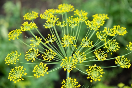The fennel blossoming. Fennel inflorescence top view. Close up. Macro. Vegetable background horizontally. Anethum. Anethum graveolens. Fructus Anethi graveolens. Imagens