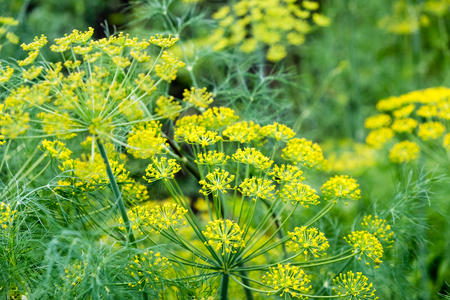 The fennel blossoming. Fennel inflorescence top view. Close up. Macro. Vegetable background horizontally. Anethum. Anethum graveolens. Fructus Anethi graveolens. Stock Photo