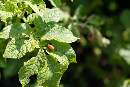 grub: Colorado beetle eats potato leaves young. Pests destroy a crop in field. Parasites in wildlife and agriculture.