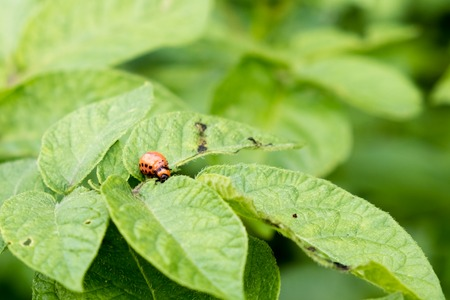 The red colorado beetles larvae feeding on the potato leaf Stock Photo