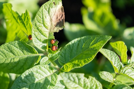 Colorado beetle eats potato leaves young. Pests destroy a crop in field. Parasites in wildlife and agriculture.
