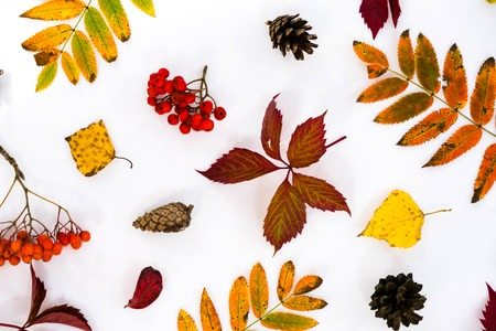 Pile of autumn leaves, pine cones nuts over white background. collection beautiful colorful leaves border from autumn elements. top view, copy space. Bright Pretty Fall Display of Colorful Ash Leaves in Natural Tones