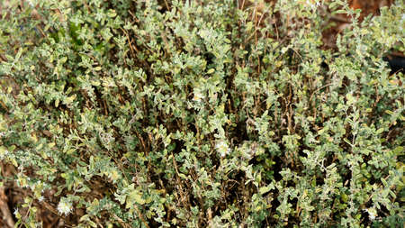 Green fresh sweet marjoram (Origanum majorana) spicy herb sprouts growing, close up