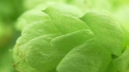 Green hops. Shallow depth of field.