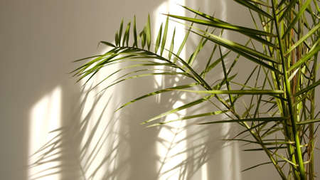 Morning sun lighting the room, shadow background overlays. Transparent shadow of tropical leaves. Abstract gray shadow background of natural leaves tree branch falling on white wall Archivio Fotografico