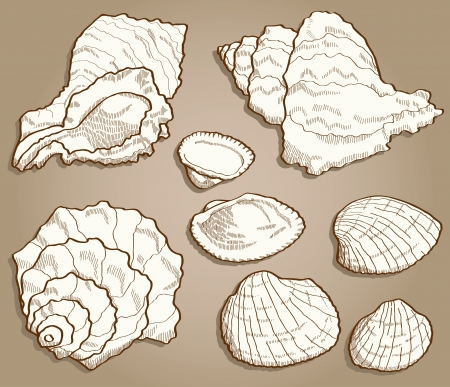Seashell set  Hand drawn illustration in vintage style Stock Vector - 18976582