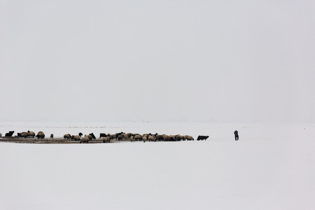 shepherd sheep: One shepherd feeds the herd of sheep in foggy and snowy environment in winter time