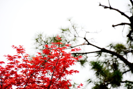 red leaves and green pine trees