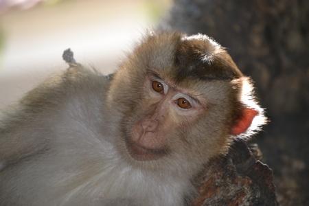 scamp: Thailand monkey
