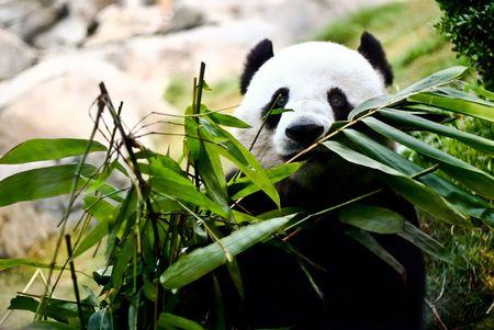 Un panda gigante está comiendo bambú