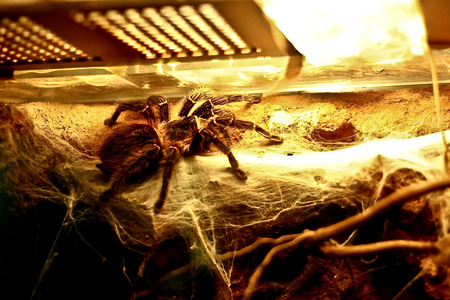 araneae: A spider with web and branch under lamp