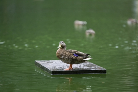 The Duck, Central Park New York  photo