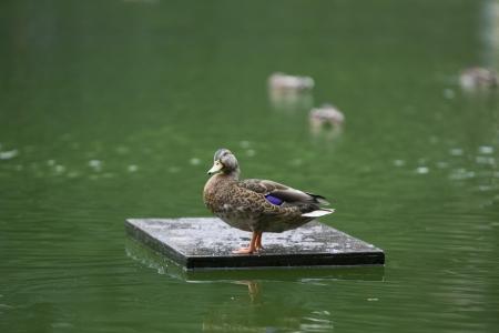 ignacio: The Duck, Central Park New York