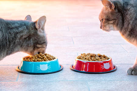 Excess intake of food in cats. Overeating in cats. Close up on cats eating in a bowl full of dry food. Obesity issue in cats. Veterinarian nutrition concept.