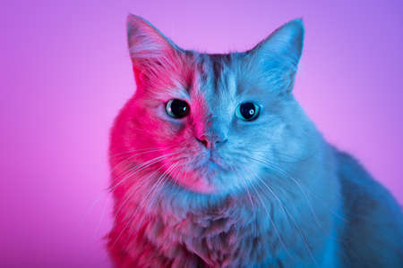 Long-haired cat's portrait with cyano and magenta lights.. Different poses and expressions of a cat in colorful bright neon lights blue and red.