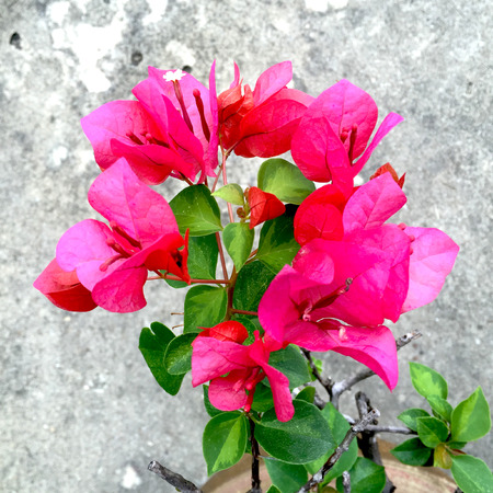 bougainvilleas: Bougainvilleas or Paper flower treetop against great for any use.