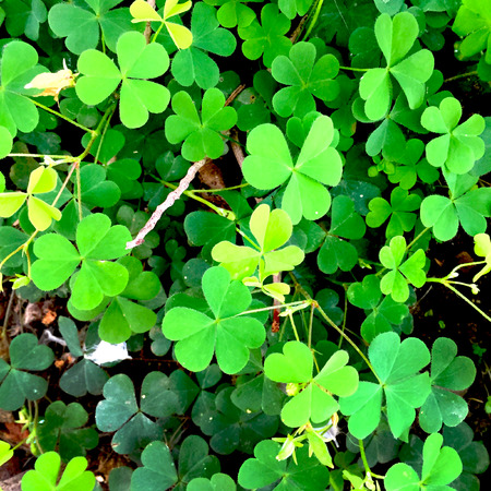 marsilea: Green leaves of Marsilea crenata (Phak waen in Thai) great for any use.