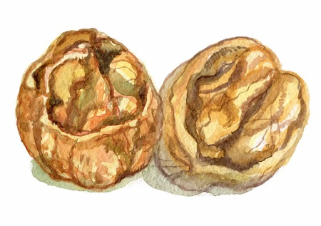 Walnuts in a water color on a white background