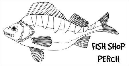 fish shop: Perch fish doodle in lines on white background. Vector ready for fish shop. Illustration