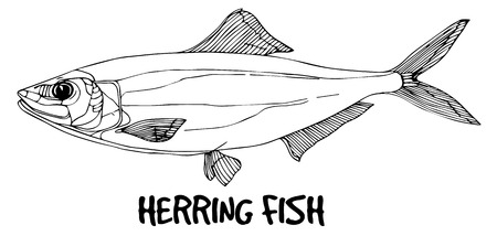 fish shop: Herring fish doodle in lines on white background.Vector ready for fish shop.