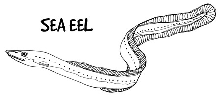 fish shop: Sea eel doodle in lines on white background.Vector ready for fish shop.