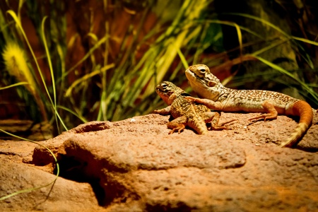 two lizards enjoy spending time together photo