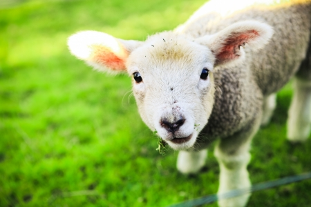 sheep eye: mary had a little lamb Stock Photo