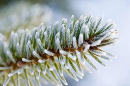 Closeup photo of frozen pine tree branch