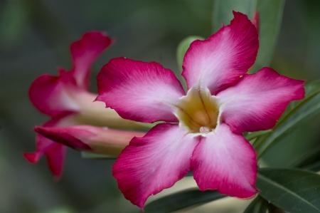 kamboja: Red and White