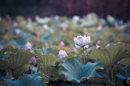 The beauty of the lotus pond Stock Photo