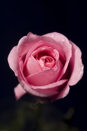 Beautiful rose flower isolated on black background