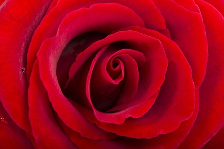 Single Red Rose close-up