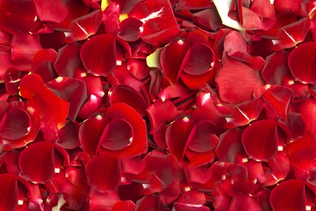 Bed of red roses Stock Photo