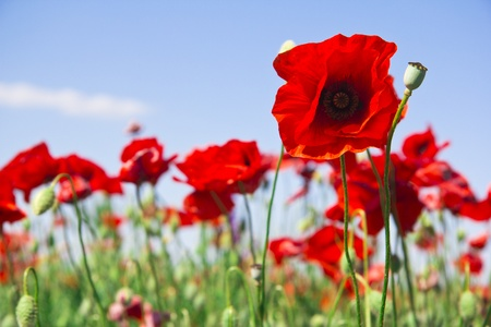 poppies on the sky background Stock Photo
