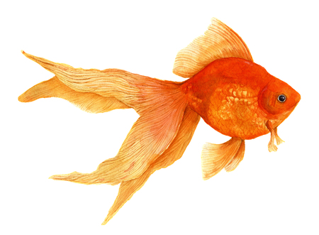 Watercolor goldfish. Realistic illustration. Stock Photo
