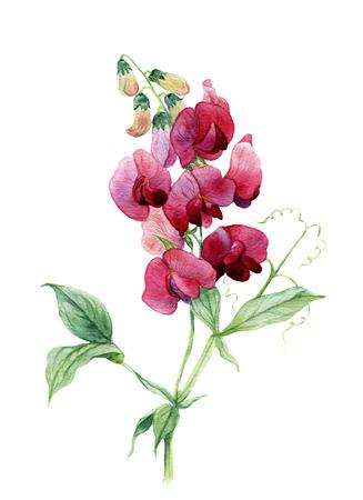 수채화 달콤한 완두콩. 식물 그림