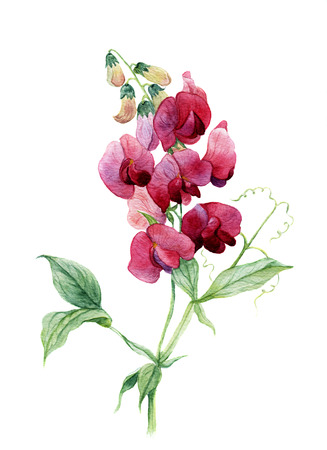 Watercolor sweet pea. Botanical illustration